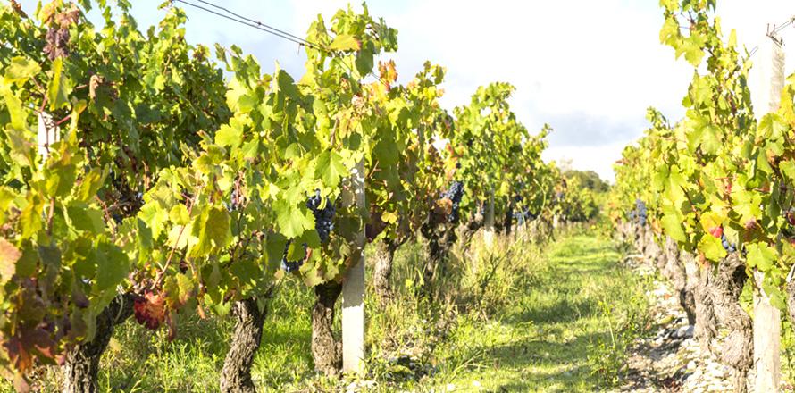 Les Vignobles Alain Roses - Château Grand Tayac Margaux - Château Hau Bellevue Moulis - Bordeaux - vignes - 01